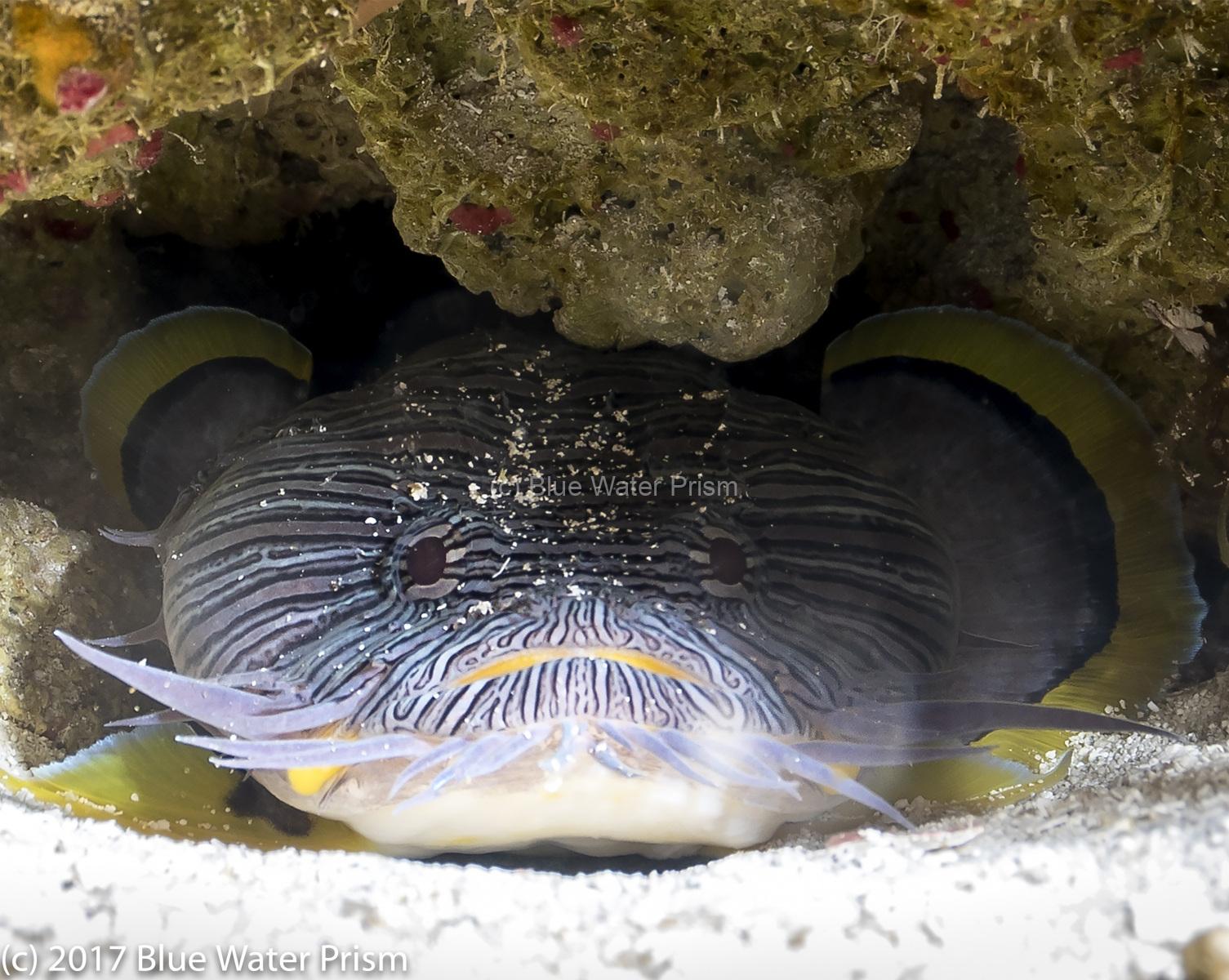 Splended Toadfish