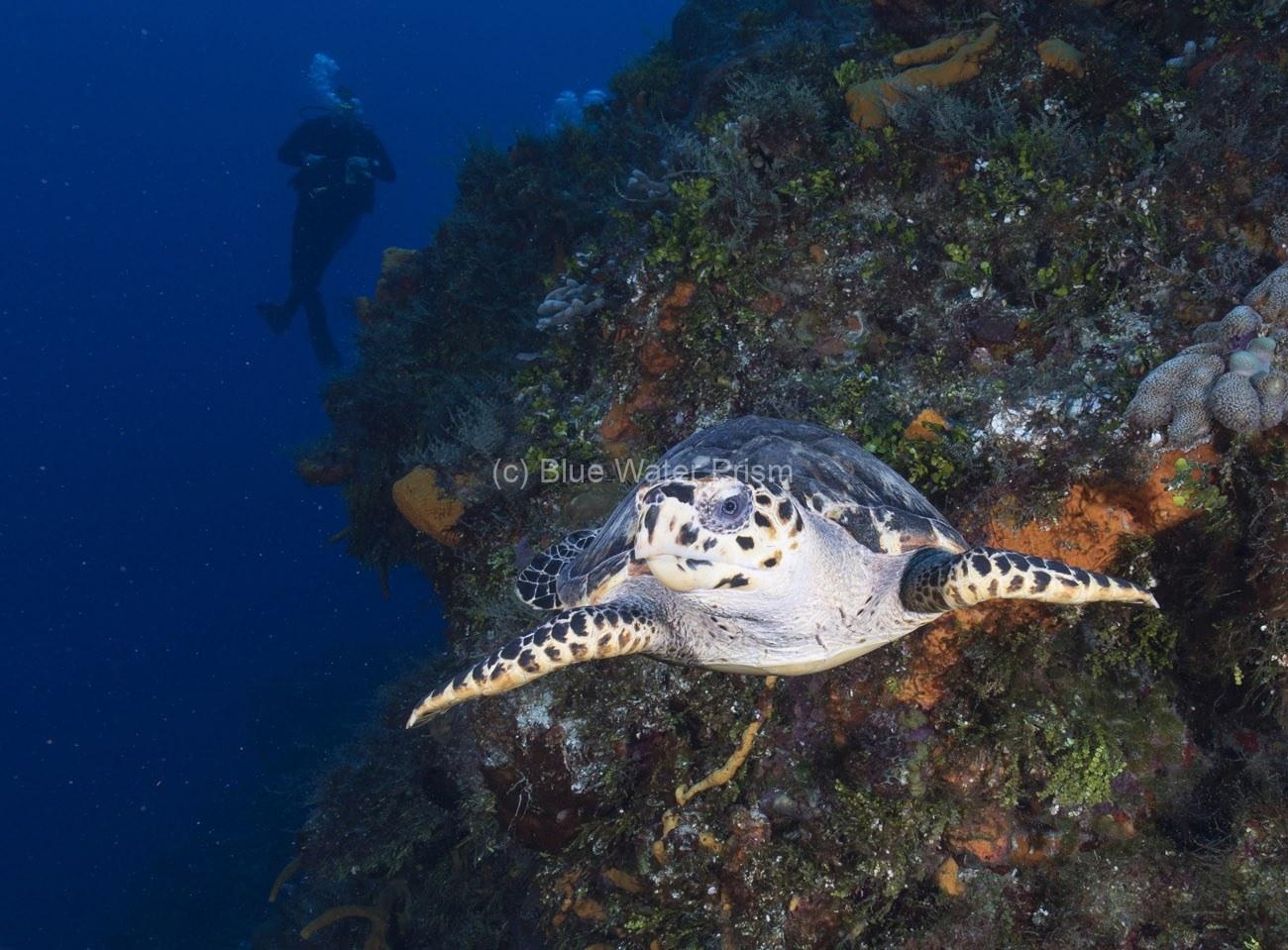 Hawksbill Turtle swimming along Cozumel reef