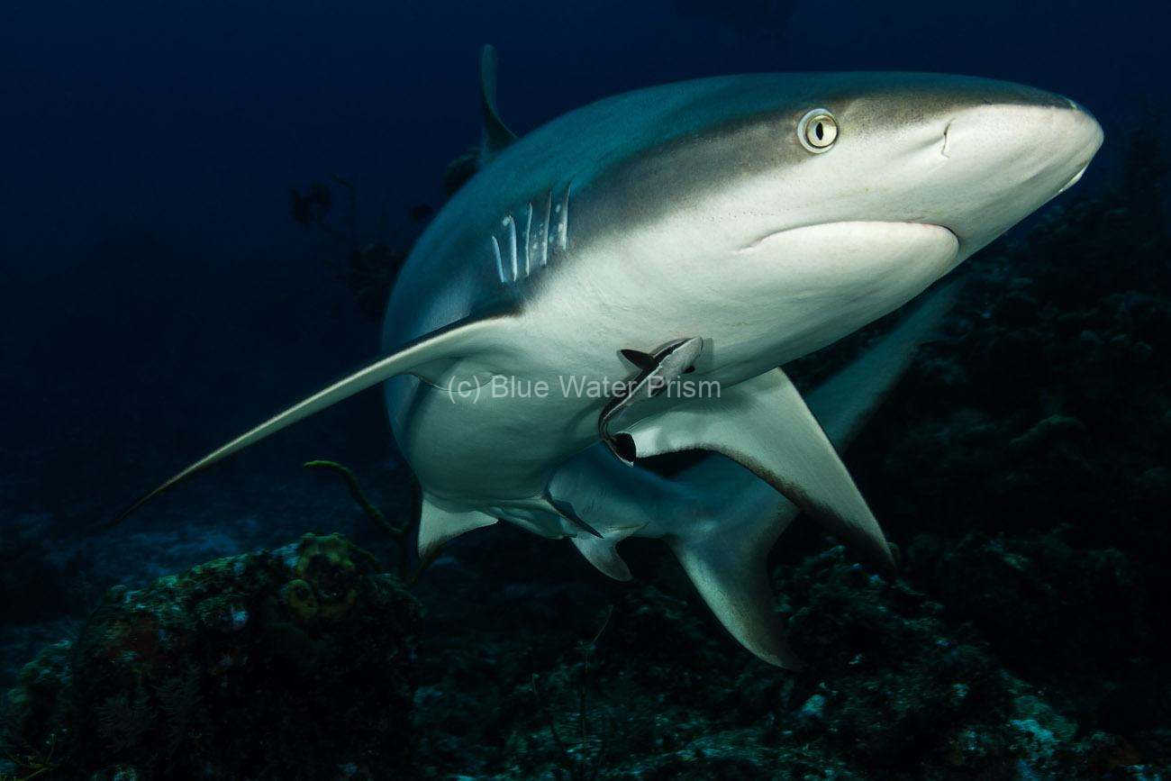Caribbean Reef Shark swimming near diver