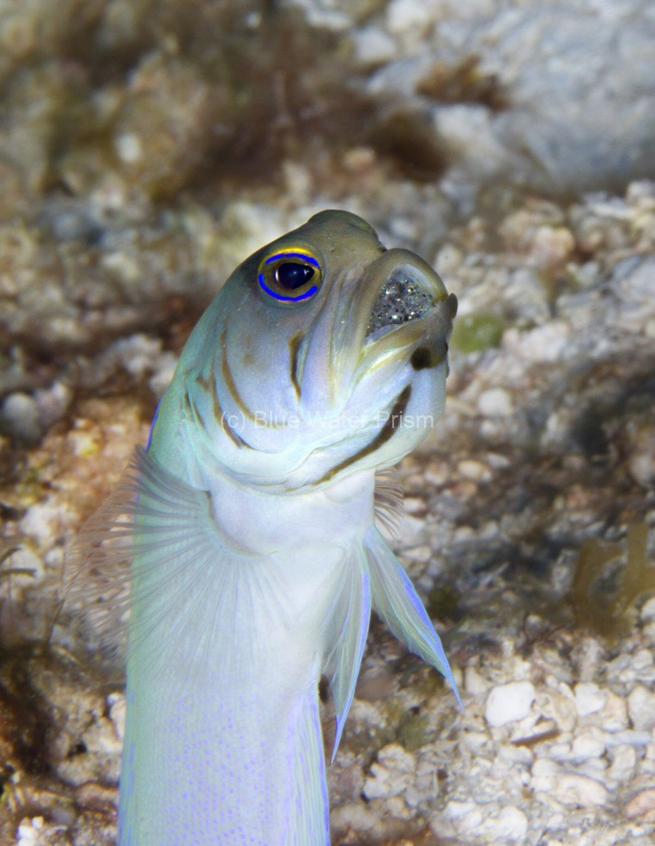 Male Jawfish with egg its mouth