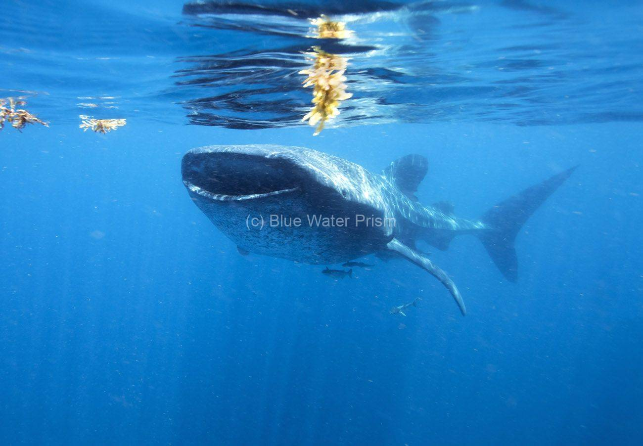 Whale Shark in Holbox Mexico
