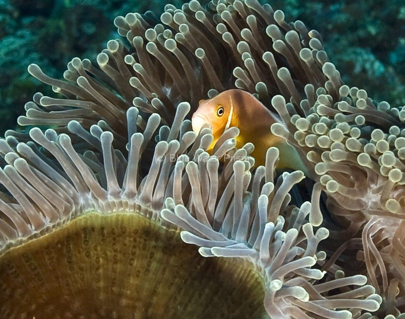 Anemonefish hiding in its anemone