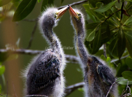 Baby Blue Heron pair near Dear Key Florida