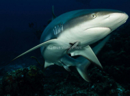 Caribbean Reef Shark swimming near diver