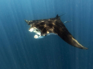 Manta Ray swimming near Holbox Mexico