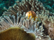 Anemonefish hiding in its anemone