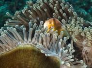 anenomefish7