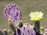 Cactus flower Arizona