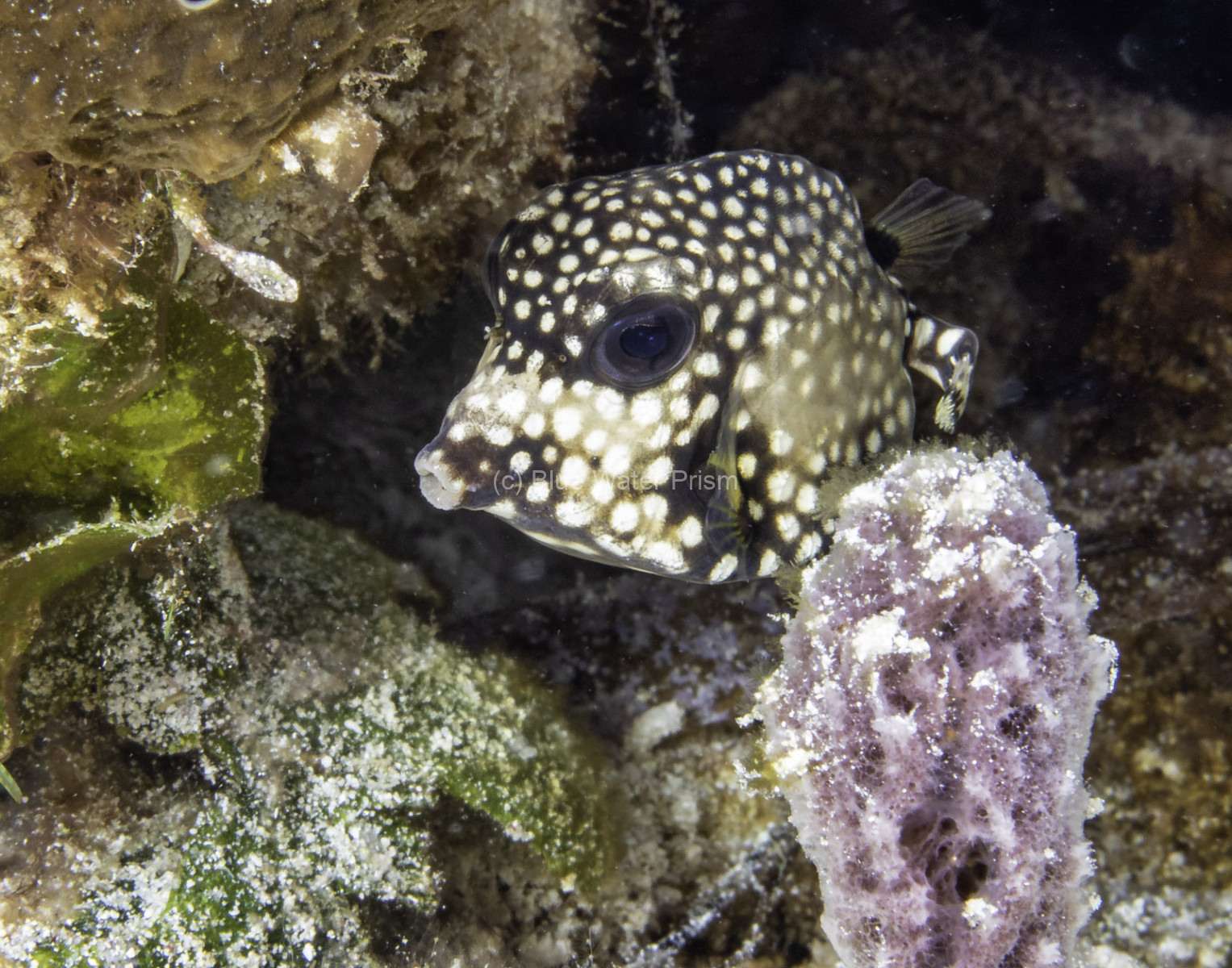 macro image of Juvenile Trunkfish