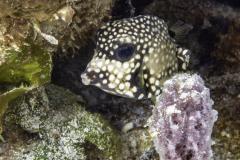 macro image of Juvenile Trunkfish