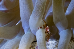 Banded Clinging Crab on anemone
