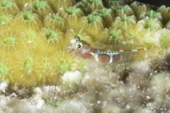 Orange Sided Goby