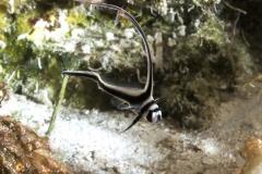 Juvenile Drumfish