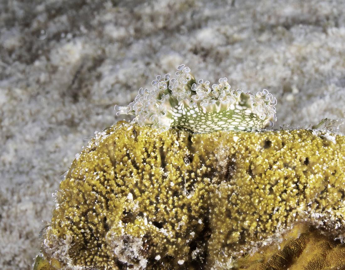 C0721_Lettuce-leaf-nudibranch_AP9A8610