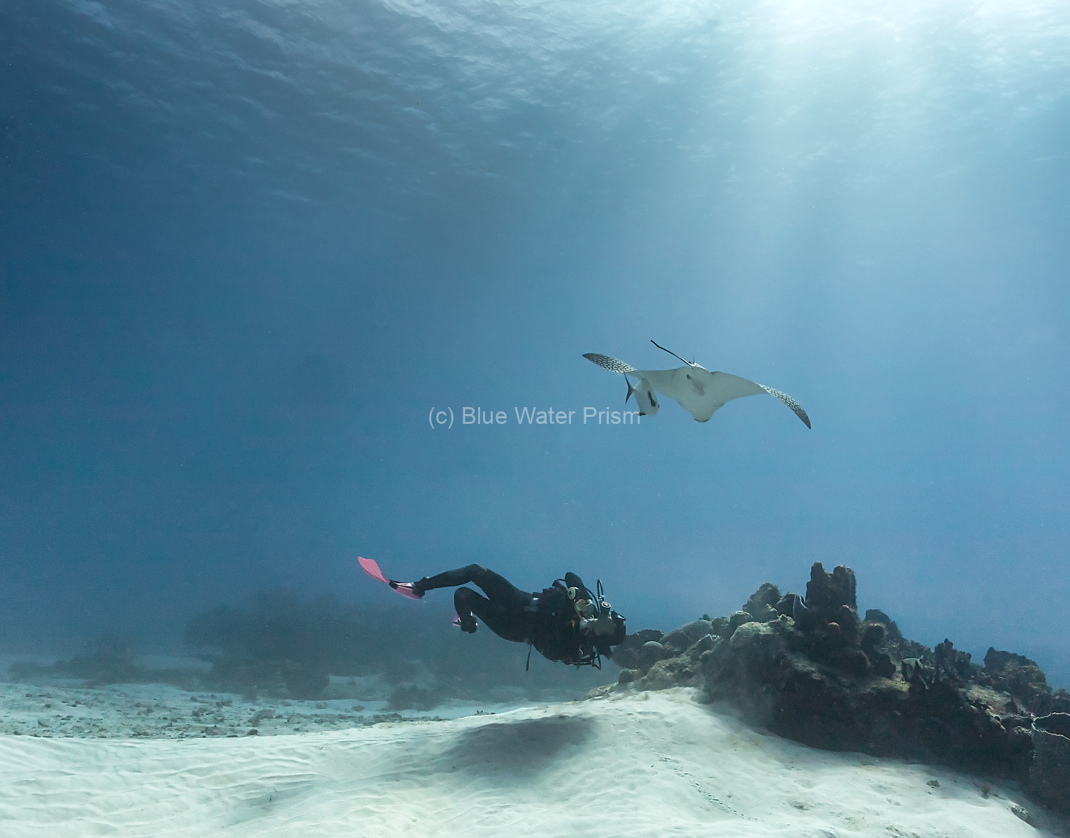Spotted Eagle Ray and diver