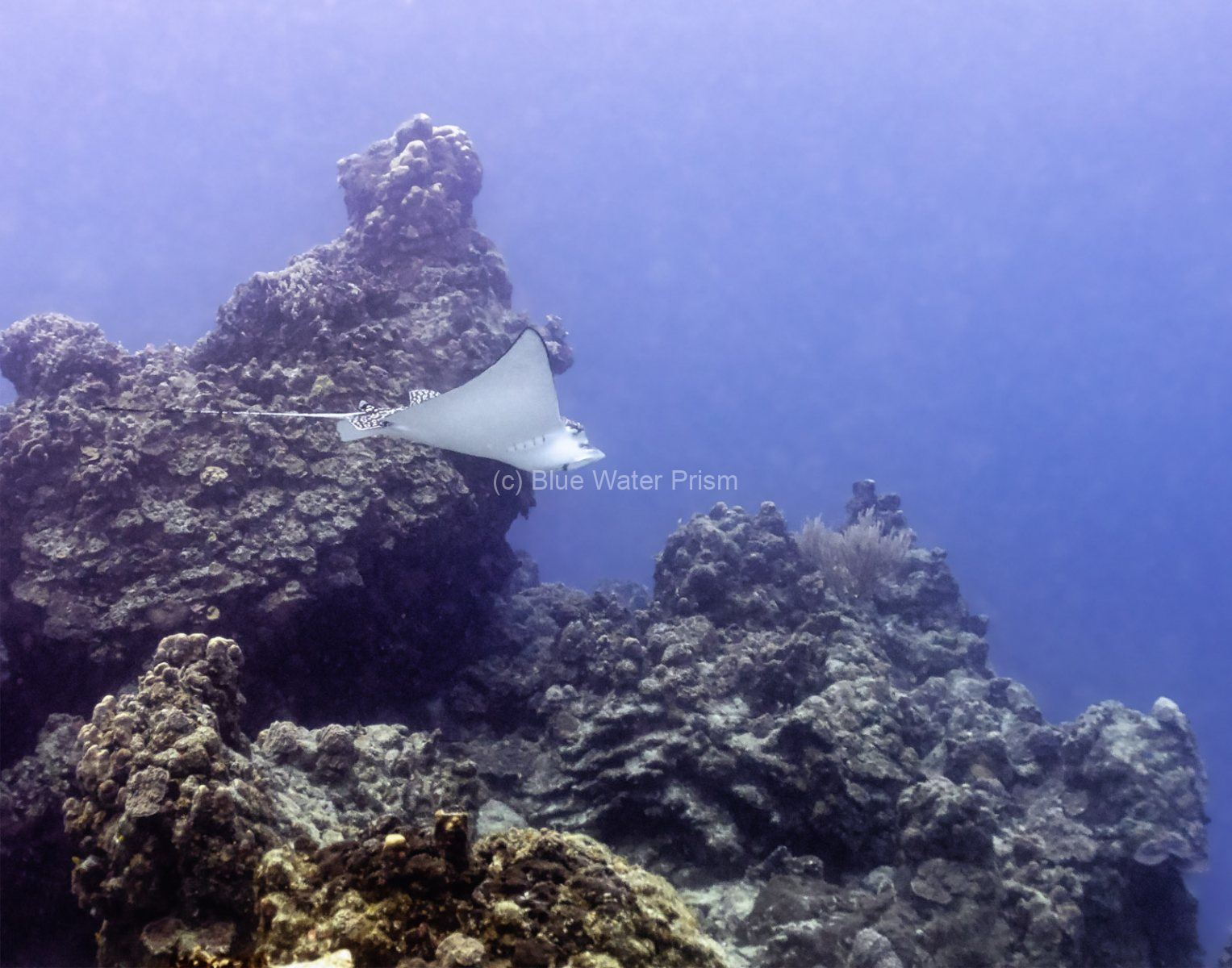 Spotted Eagle Ray on reeef