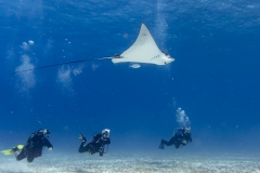 Spotted Eagle Ray and divers