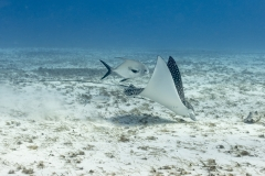 Spotted Eagle Ray feeding
