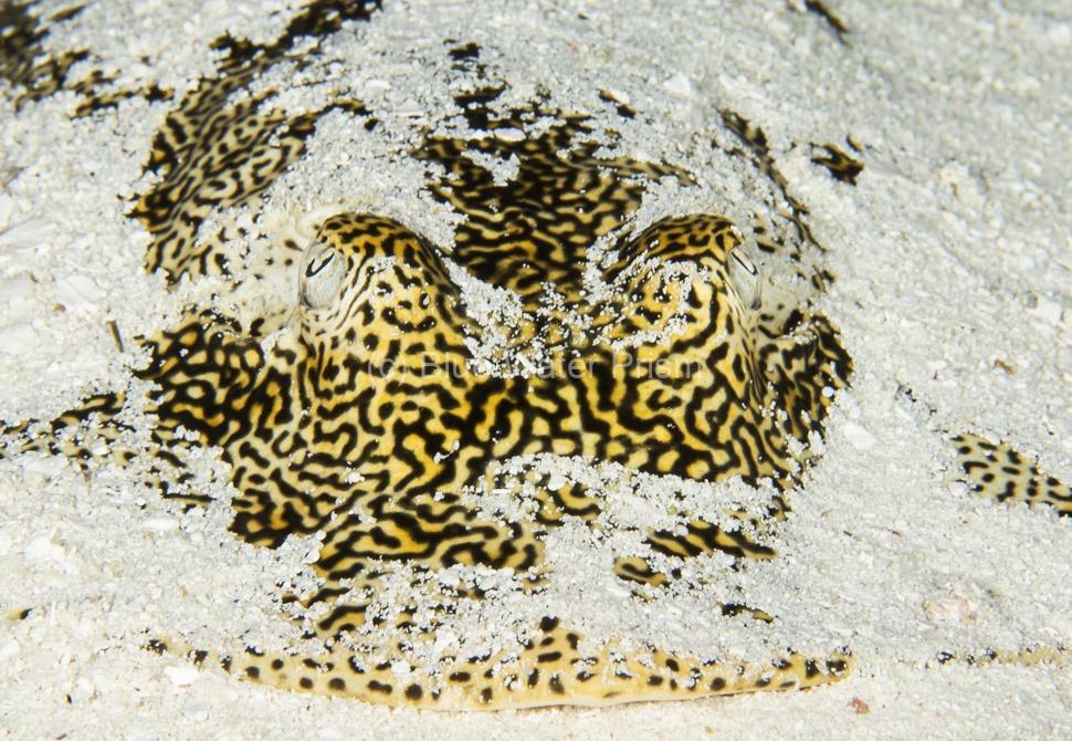 Yellow Stingray in sand