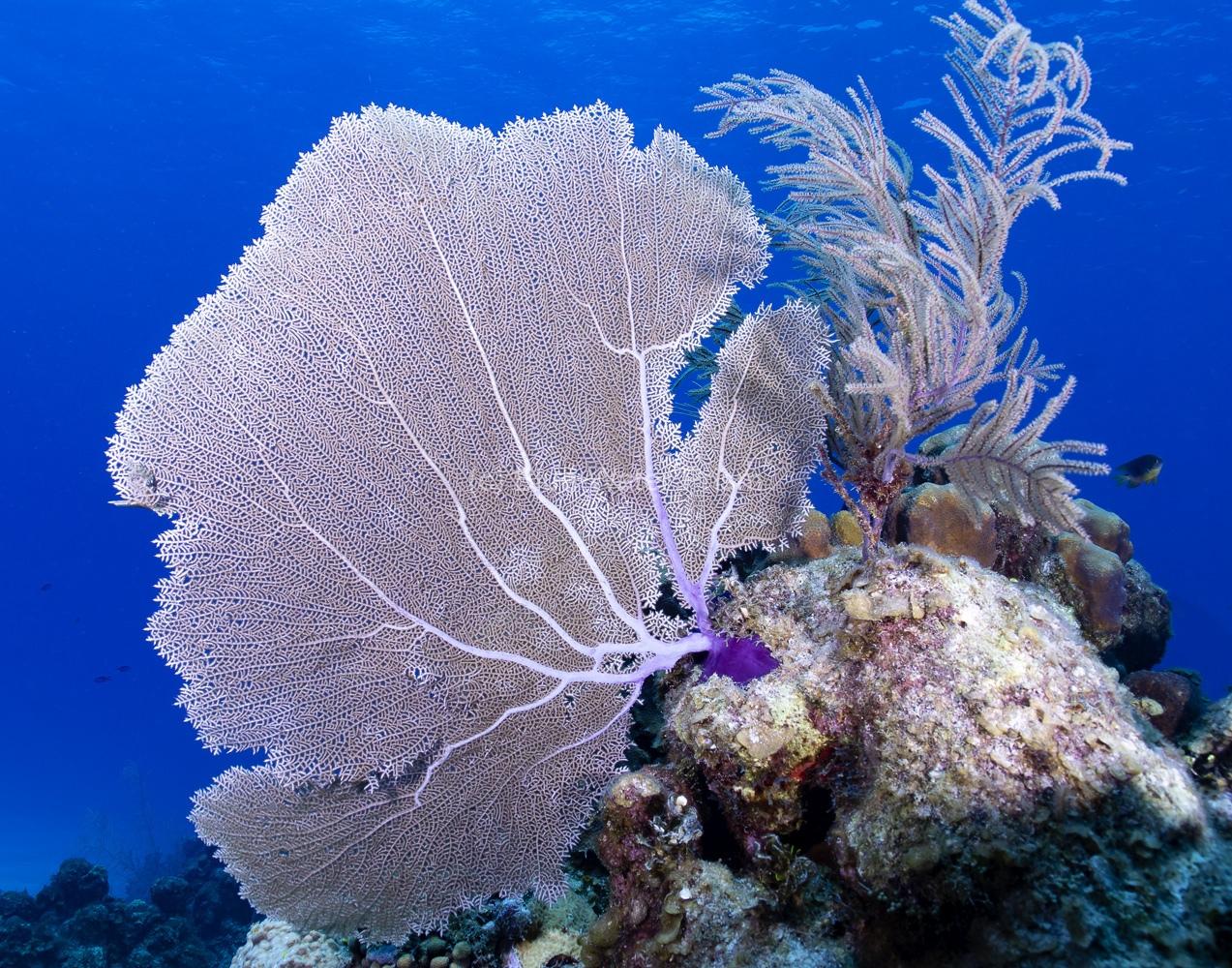 Sea Fan Coral in Grand Cayman