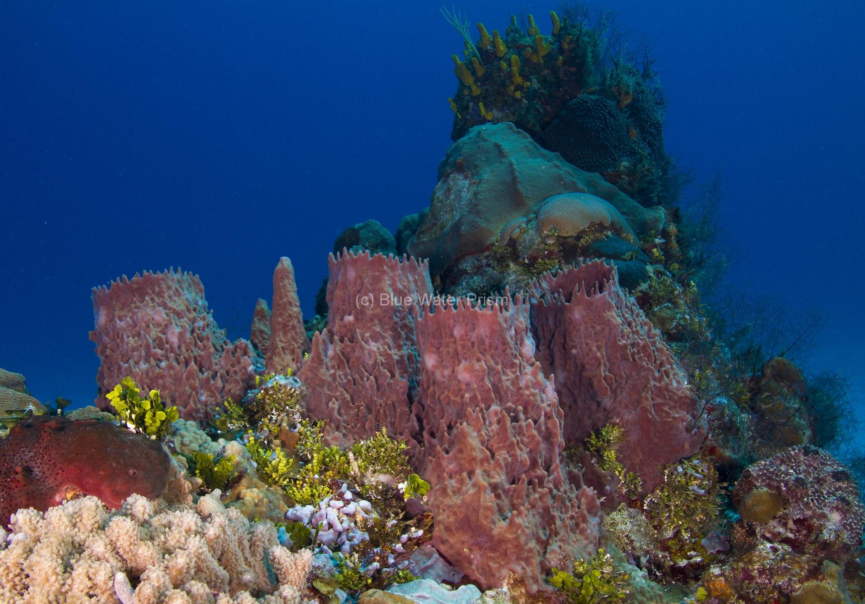 Sponges on Reef in Cozumel