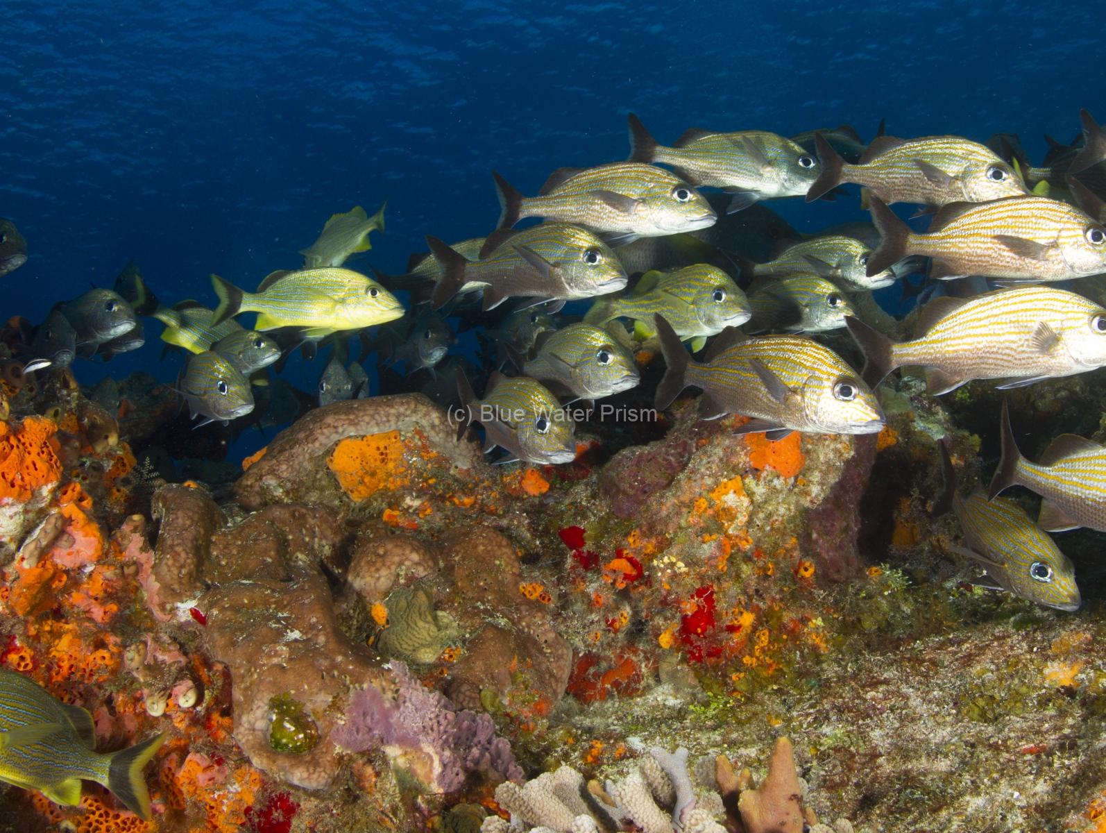 Fish Schooling on Reef in Cozumel