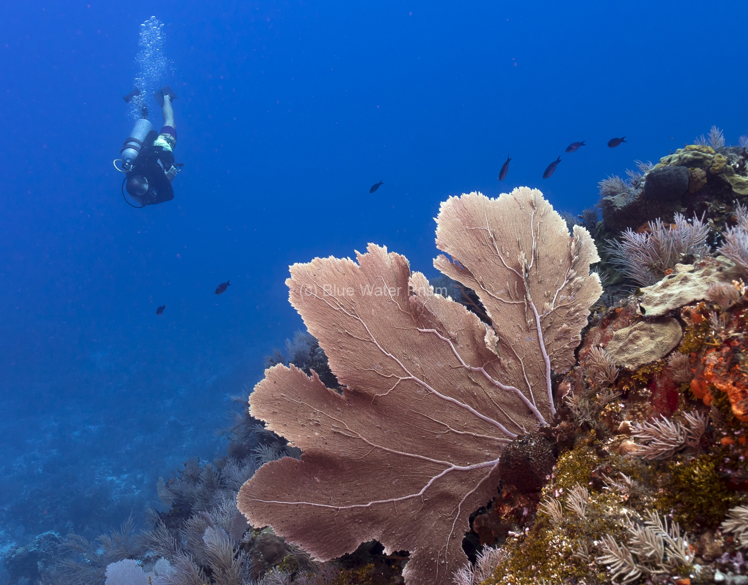 Diver at Maracaibo Reef in Cozumel