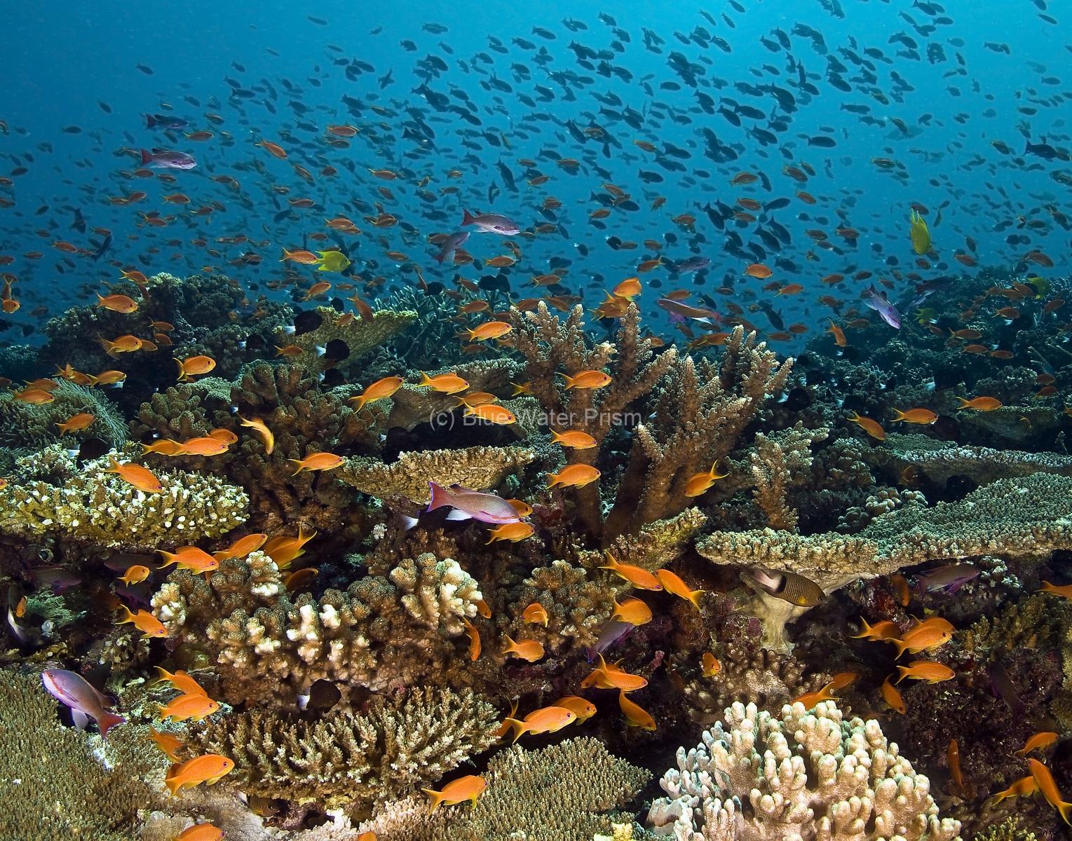 Fish Schooling on Reef in Fiji