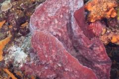 Giant Sponges on Reef in Cozumel
