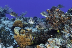 School of Trunkfish in Cozumel