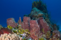 Sponges on Reef in Cozumel