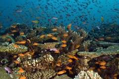 Fish Schooling on Reef in Fiji