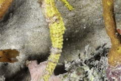 Free Swimming Seahorse on Reef