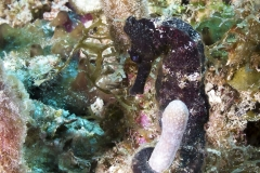 Seahorse on Reef