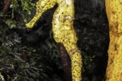 Free Swimming Seahorse on Reef
