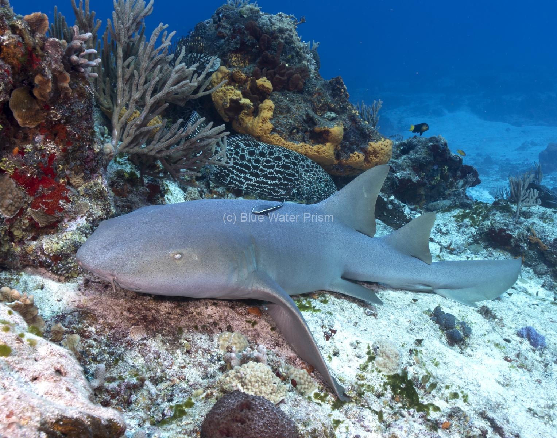 Nurse Shark Sleeping on reef in Cozumel