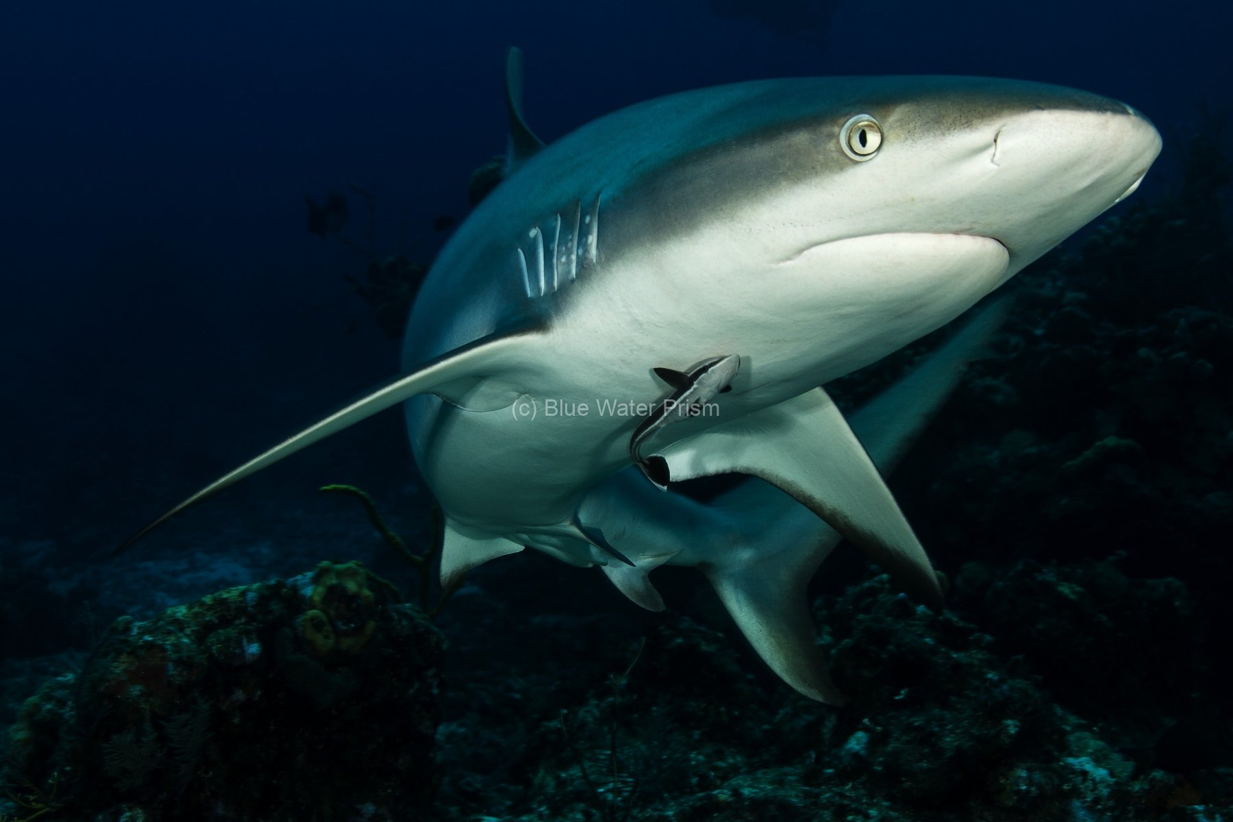 Carribean Reef Shark swimming in Turks & Caicos