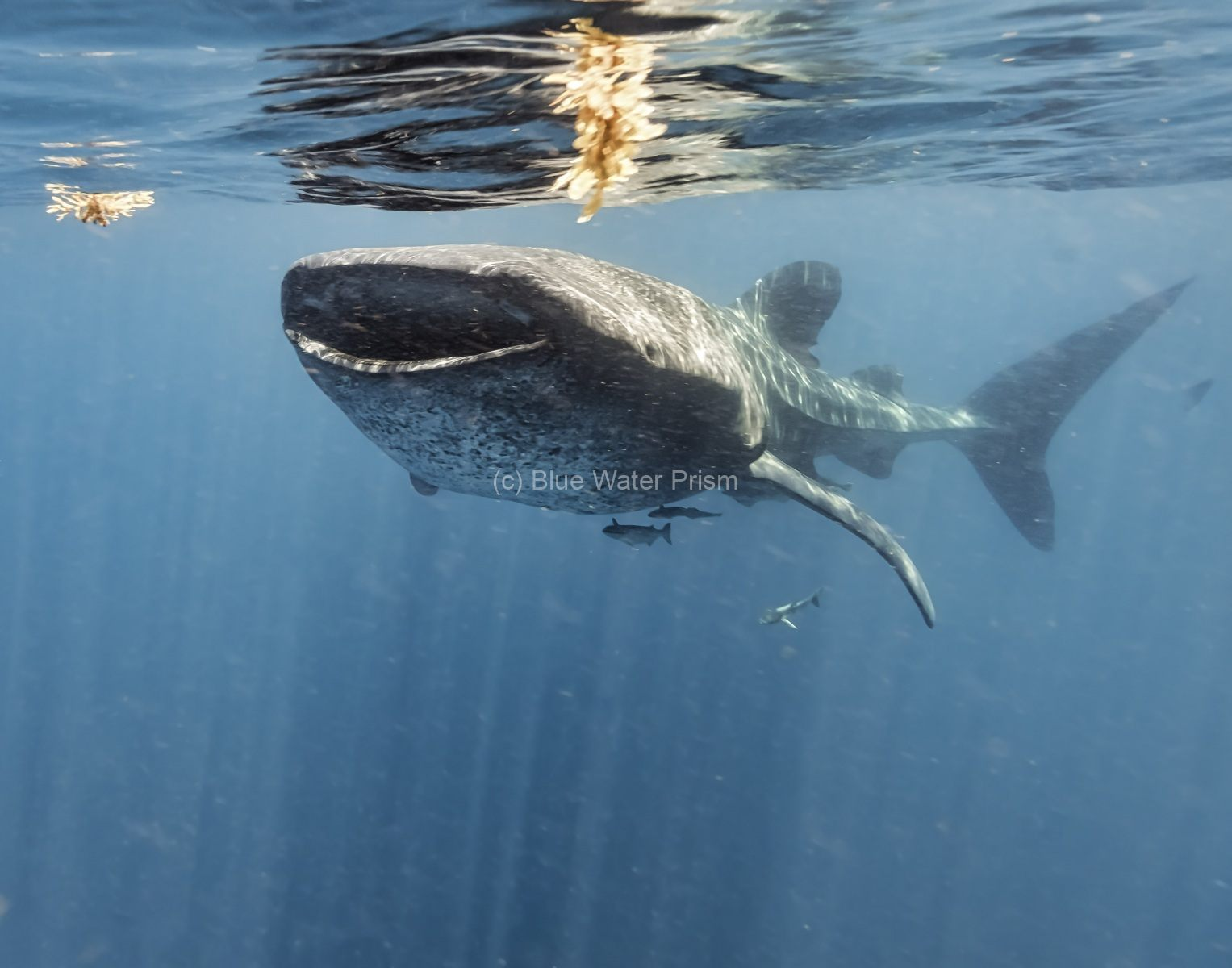 Whale shark in Holbox