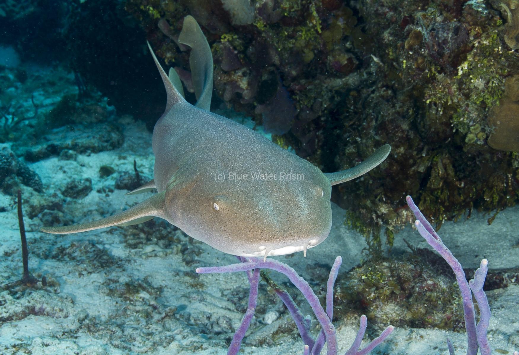 Nurse Shark Swimming on reef in Cozumel