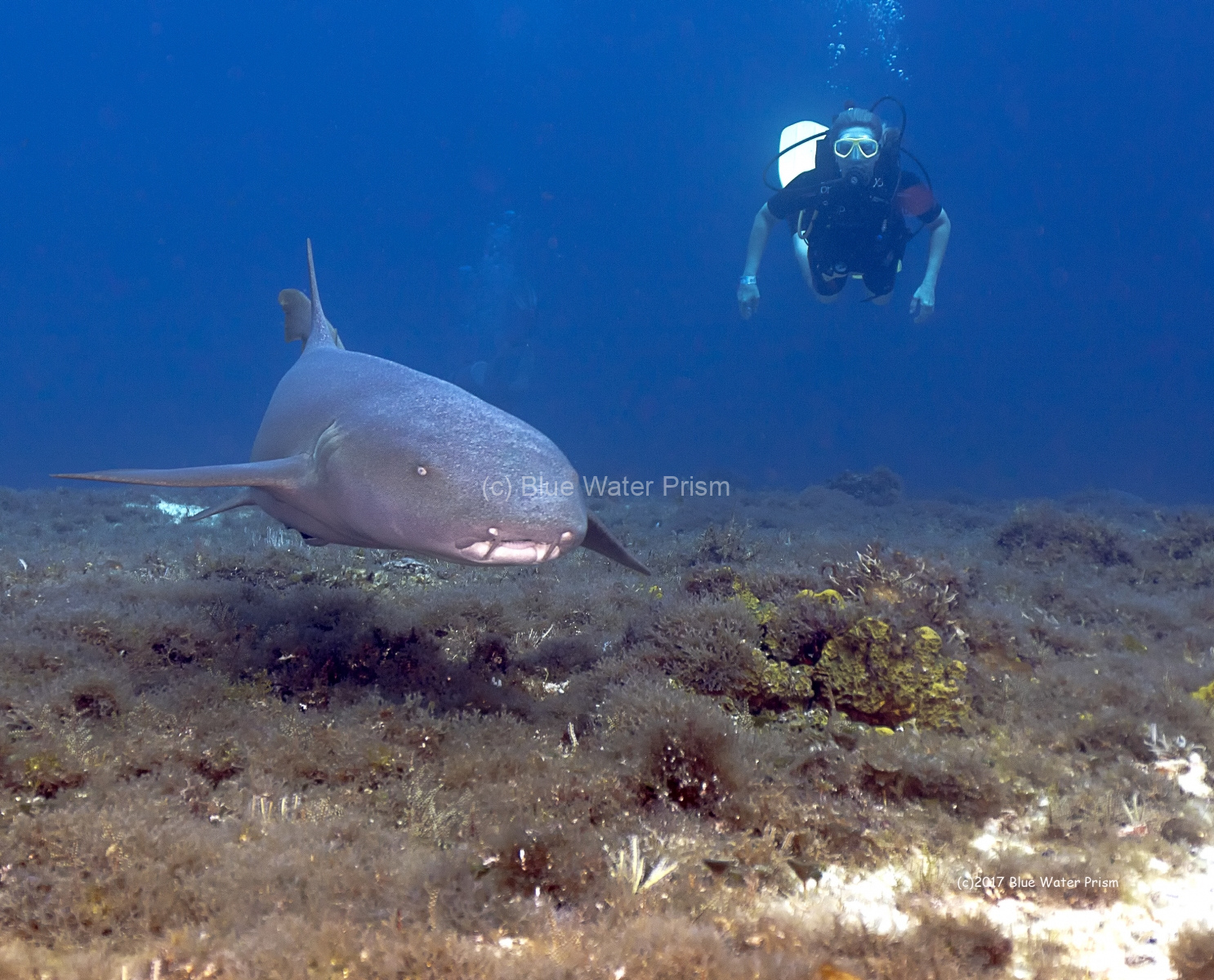 Nurse Shark Swimming on reef in Cozumel with diver