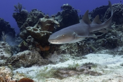 Nurse Shark Swimming on reef in Cozumel