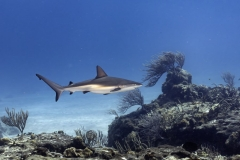 C0920_Black-tip-reef-shark_AP9A7297-1