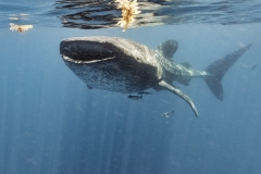 Whale shark in Holbox