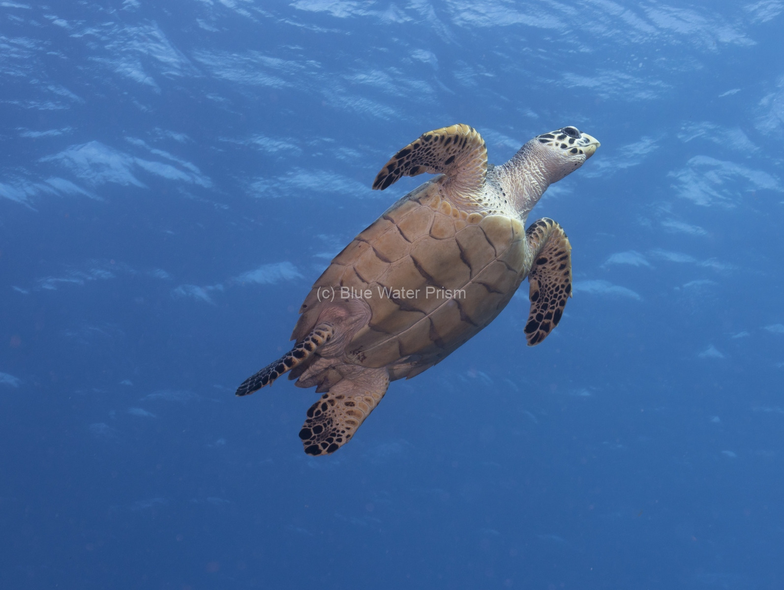 Hawksbill Turtle in Cozumel swimming to surface