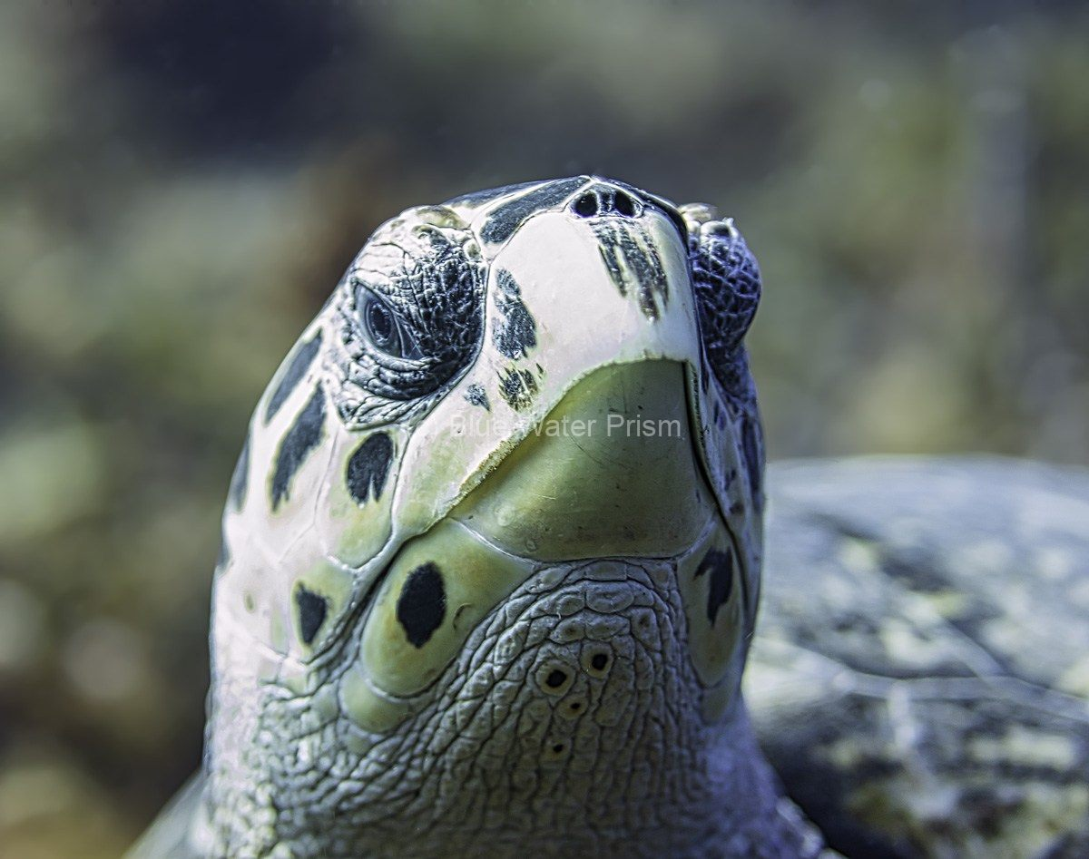 Hawksbill Turtle in Cozumel up close