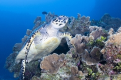Hawksbill Turtle in Cozumel on reef