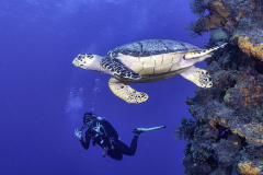 Hawksbill Turtle with diver in Cozumel on reef