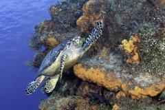 Hawksbill Turtle in Cozumel on reef