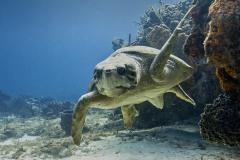 Loggerhead Turtle on reef in Cozumel
