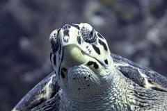 Hawksbill Turtle in Cozumel